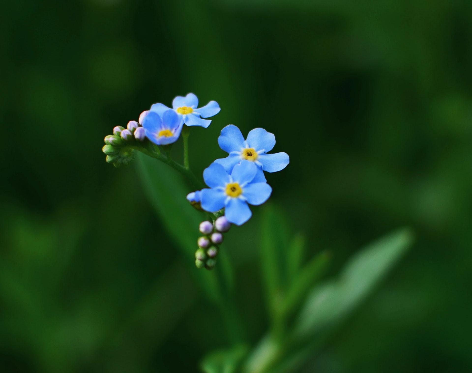 Bild på blomman Förgätmigej